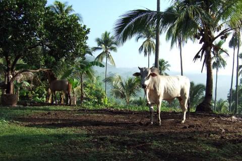 フィリピンの牛と馬
